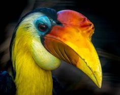 Male Wrinkled Hornbill (Aceros corrugatus) at the San Diego Zoo. Photo by Craig Chaddock.