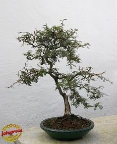 Sopora - Sophora prostrata - Fabaceae 40 years old C200901…   Flickr