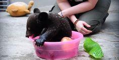 わんぱくでとってもキュート 赤ちゃんツキノワグマの入浴 - http://naniomo.com/archives/5555