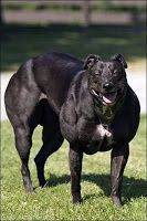 The Bully Whippet, not a Pit Bull mix, but a gene mutation that causes excessive muscle growth.