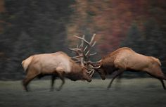 Elk (largest species of deer in the world) clash during mating season in Pennsylvania Discovery Channel's North America – in pictures