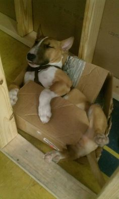 Think he out grew his box but yet still so comfortable #bull #terrier