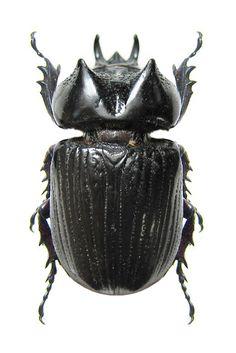 Homophileres luedeckei - Scarabaeoidea - DYNASTIDAE, Rhinocéros beetles