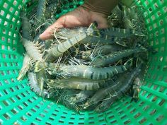 Sự phục hưng của ngành tôm Malaysia | Vietnam Aquaculture Network - Mạng Thủy sản Việt Nam