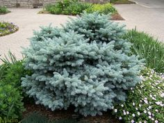BLUE GLOBE SPRUCE - North side, front yard - (1) close to front door;  Southeast side (wrapping around to South side) - (2); North side, backyard -(3).  Six total.
