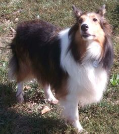 Meet Molly a Petfinder adoptable Shetland Sheepdog Sheltie Dog | Abingdon, MD | Molly is a sweet girl of about 5 to 6 years old.  She is a big (38 lbs) beautiful Mahogany Sable...