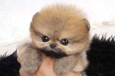 This Mr. G. for gorgeous Teacup Pomeranian for sale 3lbs Fully Grown Call us at 1-888-604-3222 or Whatsapp at +1647895295 teacup pomeranian for sale puppies teacup pomeranians for sale teacup pomeranian puppies for sale micro teacup pomeranian for sale pomeranian teacup for sale black teacup pomeranian teacup pomeranian white teacup pomeranian white teacup pomeranian baby pomeranian teacup brown teacup pomeranian baby teacup pomeranian pomeranian teacups teacups pomeranian