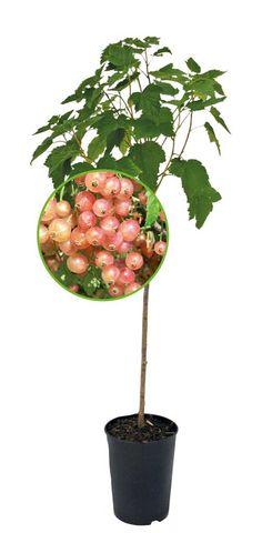 Vaaleanpunainen herukka Aili rungollinen | Marjat | Agrimarket