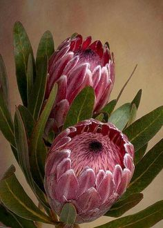 Pink Protea Proteaceae Flower Greeting Card for Sale by Leah-Anne Thompson Pink Protea flower by Lea Flor Protea, Protea Art, Protea Flower, Exotic Flowers, Tropical Flowers, Beautiful Flowers, Beautiful Beautiful, Dark Flowers, Fresh Flowers