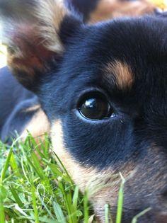 Kelpie puppy- I think my heart just skipped a beat!!! Http://beckyoder.nerium.com