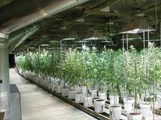growing marijuana plantation