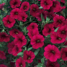 Superbells red calibrachoa Proven Winners