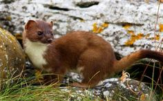 irish animals | Irish Stoat http://www.pinterest.com/search/pins/?q=stoat