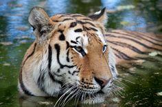Tiger | Flickr - Photo Sharing!