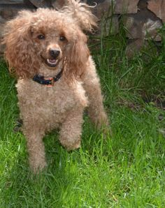 Cayenne over size toy poodle