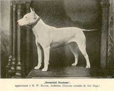This Bull Terrier is one of James Hink's type. Note the egg-shaped head and muscular body type has not yet been set.