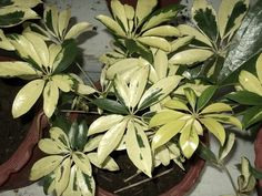 Le schefflera : une plante d'intérieur décorative