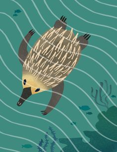 Swim New Guinea–  Did you know that the echidna can actually swim fairly well? It can help this strange spiny creature to cool off, especially since the echidna can neither sweat nor pant. From my animals project, Beasts Illustrated.