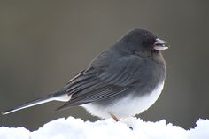 Slate Colored Junco also known as the Snow Bird