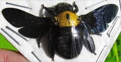Tropical Carpenter Bee Xylocopa confusa Female Spread FAST SHIP FROM USA