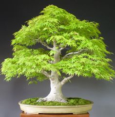 Maple Bonsai, Formal Upright style (Chokkan).