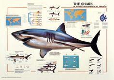 Shark Marine Biology Poster
