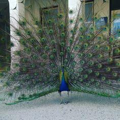 What an amazing display of natural beauty #peacock #bird #island #globaleco15 @ecotourismaustralia #australia #rottnestisland #westernaustralia  #bankingonhappiness #ausfeels #nature by quiettraveller http://ift.tt/1L5GqLp