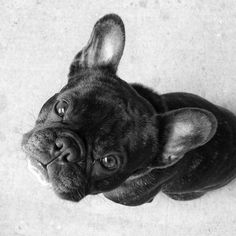 """""""Hello...Where is my cookie?"""" Leica, the hungry French Bulldog Puppy."""