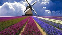 Campos de Tulipanes en Holanda. No importa cuán conocidos sean los campos de tulipanes de Holanda, sus fotografías no dejan de maravillarnos.