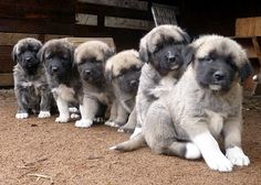 Anatolian Shepherd puppies.. I want all of them!