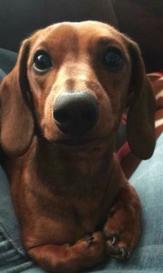 """Explore our site for additional relevant information on """"dachshund puppies"""". It is an outstanding place to learn more. Basset Dachshund, Dachshund Funny, Long Haired Dachshund, Dachshund Love, Daschund, Cute Puppies, Cute Dogs, Dogs And Puppies, Clever Dog"""