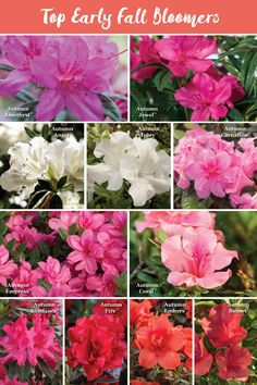 17 Best Autumn Fire Azalea Images In 2019 Dwarf Azaleas Planting