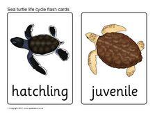 Sea turtle life cycle flash cards (SB8763) - SparkleBox