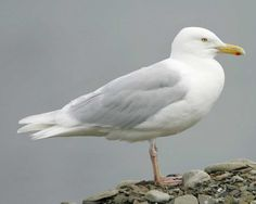 Glaucous Gull  Larus hyperboreus  Rare winter visitor, 11 accepted records from Dec.-April prior to TBRC delisting in 1997