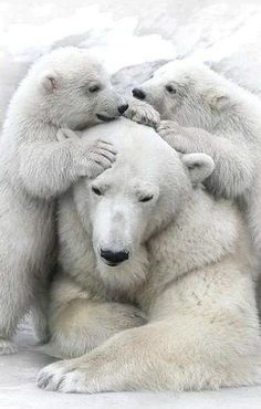 #Polarbear #Cubs #Animals