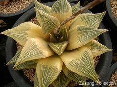 Haworthia retusa reverse variegated