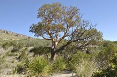 A beautiful Texas Madron tree in the Guadalupe National Park