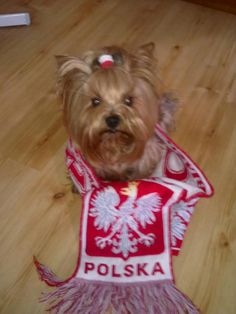 Pies-kibic :) / #Dog the football fan :) #poland