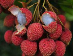 Calli 20pcs semillas de uva globo rojo del jard/Ã/n dulce fruta jugosa fragante