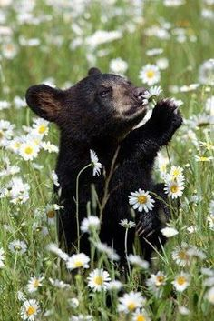 Little Bear smelling the flowers .