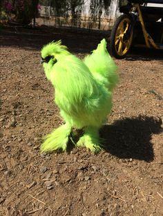 Clover Silkie Rooster Fur Babies, Parrot, Bird, Animals, Parrot Bird, Animales, Animaux, Birds, Animais