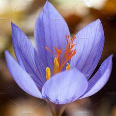 Blue flower crocus ligusticus Photos Blue flower crocus ligusticus (saffron) in the forest by Vapi