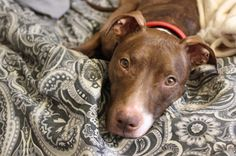 Meet Penny, a Petfinder adoptable Pit Bull Terrier Dog | New York, NY | This sweet little lady is Penny, the 3 year old Pittie mix! She was pulled from the ACC, starving...