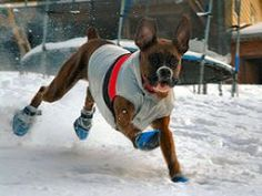 Boxer pictures are so fun to look at because Boxer dogs have so much personality. Boxers are the 7th most popular dog breed in the USA, according to AKC 2006 statistics. Boxers are gentle, playful, energetic, and loyal. Have fun perusing these funny...
