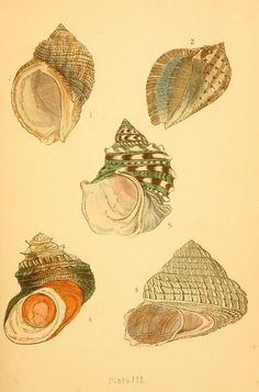n8_w1150 by BioDivLibrary, via Flickr...Snails
