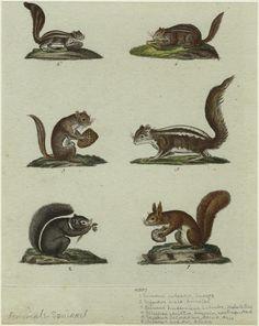 Sciurus vulgaris, Europe ; Sciurus niger, America ; Sciurus hudsonicus Labrador, Hudson's Bay ; Sciurus striatus, Americ... (1792-1843)