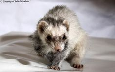 This ferret goes beyond offering emotional comfort by alerting when her diabetic owner suffers a dangerous blood glucose level.