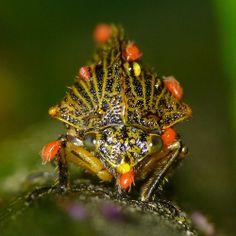 Treehopper with Mites, Heranice sp.?