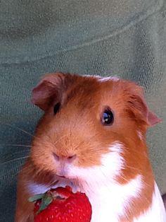 My Cute Guniea Pig (AKA Joy) by KirbyDaEpic924