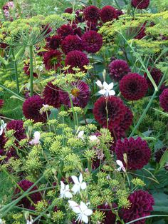Superb agreement between fennel ( Foeniculum vulgare 'Zefa Fino') and dahlias  'Black Diamond'.